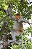 Hacia fuera enfriado mono de probóscide Foto de archivo libre de regalías