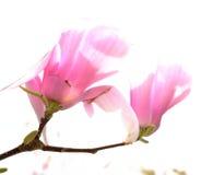 Hacia fuera floración soplada delicada de la magnolia Foto de archivo libre de regalías