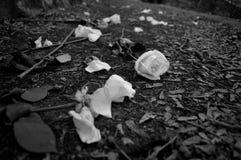 Hacia fuera lanzadas rosas Fotografía de archivo libre de regalías
