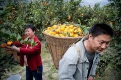 Hackafruktbönder Fotografering för Bildbyråer