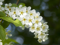 Hackberry. This is hackberry flowers. Prunus padus, known as Bird Cherry or Hackberry, is a species of cherry, native to northern Europe and northern Asia Stock Image