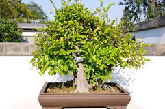 Hackberry bonsai stock images