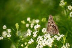 Hackberry cesarza motyl na białych wildflowers zdjęcie royalty free