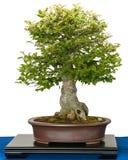 Hackberry (chinensis Zeltis) som bonsaiträd royaltyfria foton