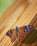 Hackberry Emperor Butterfly Royalty Free Stock Photo