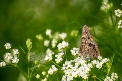 Hackberry emperor butterfly on white wildflowers royalty free stock photo