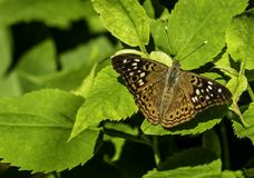 Hackberry Emperor on a leaf. A hackberry emperor butterfly resting on a leaf in a rural area stock image