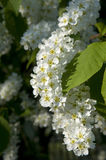 Hackberry flowers Stock Image
