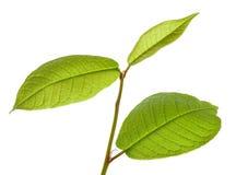 Hackberry leaves stock photo