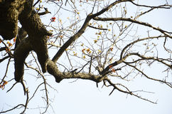 Hackberry Tree Royalty Free Stock Photography