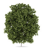 Hackberry tree isolated on white Royalty Free Stock Photo