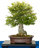 Hackberry (Zeltis chinensis) as bonsai tree royalty free stock photos