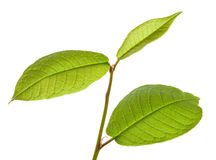 Hackberryblätter Stockfoto