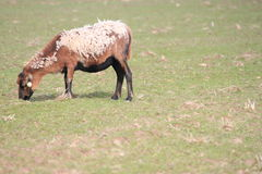 Hackly sheep Stock Images