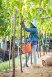 Hackor gör grön druvor Royaltyfria Foton
