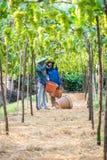 Hackor gör grön druvor Royaltyfri Foto
