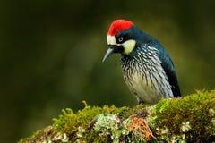 Hackspett från Costa Rica bergskog, ekollonhackspett, Melanerpesformicivorus Härligt fågelsammanträde på den gröna mossen arkivfoto