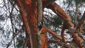 Hackspett på ett träd i vinterskog arkivfilmer