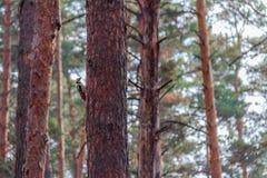 Hackspett som bebor pinjeskogen arkivfoton