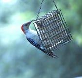 Hackspettfågel Arkivfoton