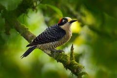 Hackspettfågel Svart-vara fräck mot hackspett, Melanerpespucherani som sitter på filialen i den gröna skogvändkretshackspetten i  royaltyfria foton