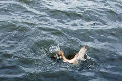 Haczykowata ryba na haczyku Zdjęcie Royalty Free