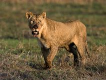 The had dinner lioness. Lioness with a predatory sight and the muzzle stained with blood after meal Royalty Free Stock Photography