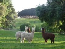 Alpacas. They had meeting to not go to a paddock set Royalty Free Stock Photography