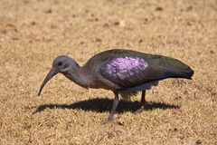 Hadada eller Hadeda ibis Arkivbild