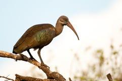 hadada ibis Кения Африки Стоковая Фотография