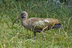 Hadada Ibis Stock Photography