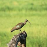 Hadada ibis imagem de stock