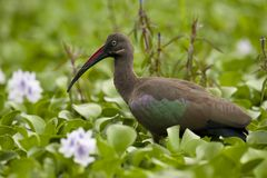 Hadada ibis zdjęcia royalty free