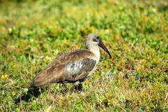 Hadada Ibis bird Royalty Free Stock Photography