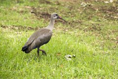 Hadada Ibis Bird Stock Photo