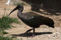 Hadada ibis (Bostrychia hagedash) Stock Photos