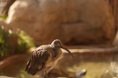 Hadada Ibis, Bostrychia hagedash, bird Stock Image