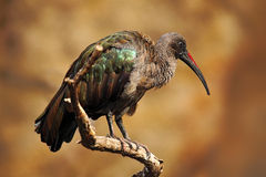 Hadada Ibis, Bostrychia hagedash, bird with long bill sitting on the branch, in the nature habitat, Tanzania Stock Images