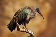 Hadada Ibis, Bostrychia hagedash, bird with long bill sitting on the branch, in the nature habitat, Tanzania Stock Images