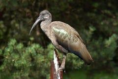 Hadada ibis Royalty Free Stock Image