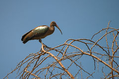 Hadada ibis Royalty Free Stock Photography