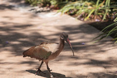 Hadada ibis called Bostrychia hagedash Royalty Free Stock Images
