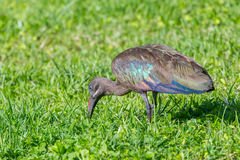 Hadada Ibis Digging For Food. Hadada or Hadeda Ibis - Bostrychia hagedash are carniverous and dig into the ground searching for insects, worms, frogs and small Royalty Free Stock Image