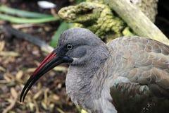 Hadada Ibis en un parque zoológico en California imágenes de archivo libres de regalías
