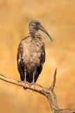 Hadada Ibis, hagedash Bostrychia, птица при длинный счет сидя на ветви, в среду обитания природы, Кения Редкая птица от природы Стоковые Изображения