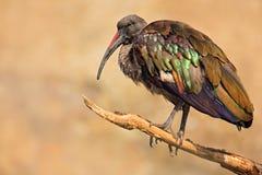Hadada Ibis, hagedash Bostrychia, птица при длинный счет сидя на ветви, в среду обитания природы, Танзания Редкая птица от natur Стоковые Изображения