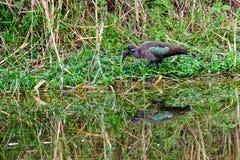 Hadada ibis i swój odbicie Fotografia Stock