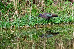 Hadada ibis and its reflection Stock Photography