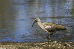 Hadada ibis in Kruger National park, South Africa Royalty Free Stock Image