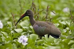 Hadada Ibis Royalty Free Stock Images